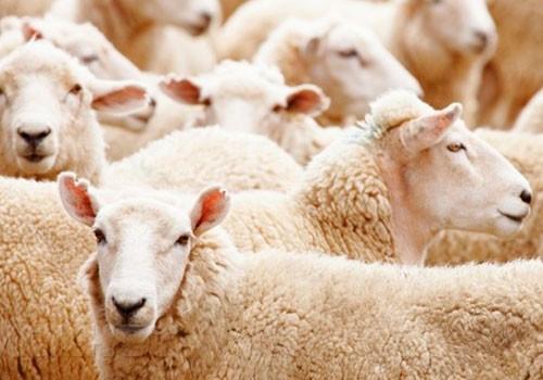Одна восточная притча: Царь и овцы